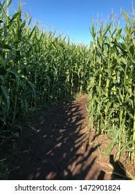 Bend in the corn maze
