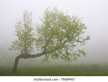 Bended birch tree in morning fog