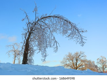 bended tree covered with ice