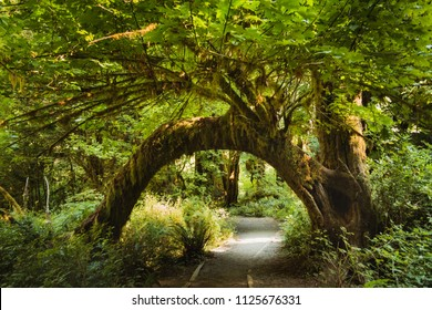 Bending tree full of green leaves over a hiking trail named Hall of Moss in a national park in Olympic National Park, USA.