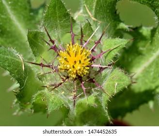 Benedictine herb, Cnicus, Benedictus is an important medicinal plant and poisonous plant with orange flowers.