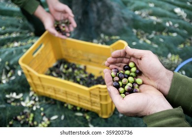 BENEVENTO, ITALY - 12 NOVEMBER 2012: An employee displaying freshly-picked olives during harvesting in the grounds inside a factory for the production of edible oils.