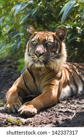 Bengal- or Asian tiger in morning sun with background of bamboo bushes