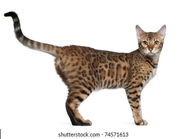 Bengal cat, 7 months old, standing in front of white background