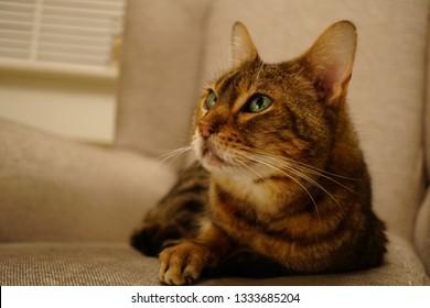 Brown Tabby Bengal Cat Images Stock Photos Vectors Shutterstock