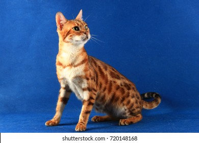The Bengal cat breed.
