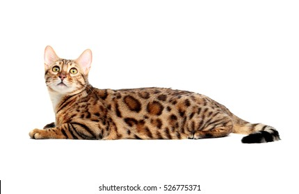 The Bengal cat breed.Isolated on a white background.