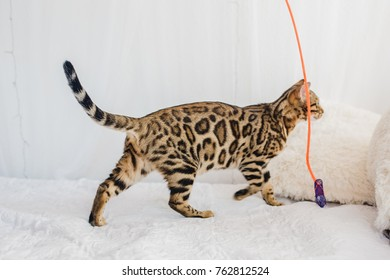 Bengal cat brown spotted pets