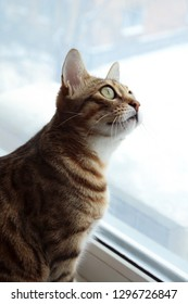 Bengal cat. Cats and animals food and feed. Home animal . Cat's food store. Cats and animals. Home animal. Pussycat . Cat's food store. Nice , cute. beauty emotions. Eyes of kitten, mood and nature.