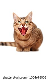 Bengal cat. Cats and animals. Home animal  store. Nice , cute. beauty emotions with pussy. Zoo, nature and animal. Evil, rage, hate, humor, mimicry, white, isolated