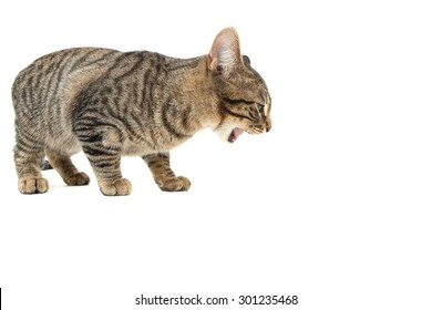 Bengal cat eating or being sick