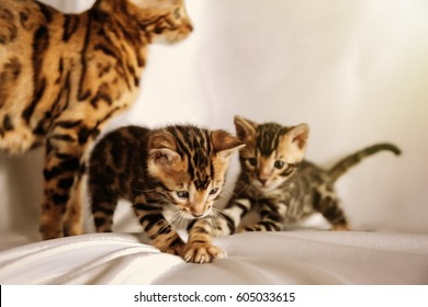 Bengal cat family playing together, playful kittens