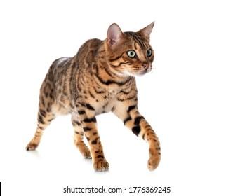 白い背景にベンガル猫