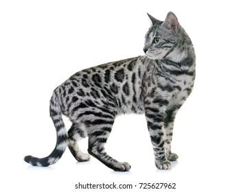 White Gray Kittens Images Stock Photos Vectors Shutterstock