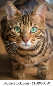 Bengal cat with green eyes, beautiful pet, portrait