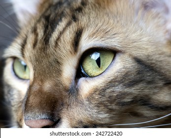 Bengal cat: Bengal cat head close up taken at home