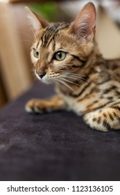 Bengal cat at home close-up