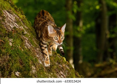 Bengal Cat Hunting in forest, Nature green background