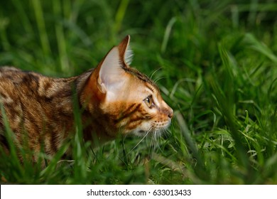 Bengal Cat Hunting in grass on Nature green background, profile view