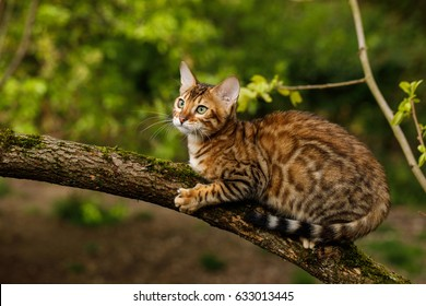 Bengal Cat Hunting outdoor, on branch tree, Nature green background