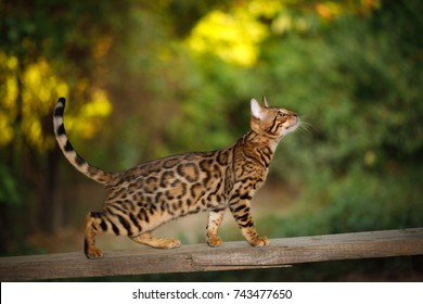 Bengal Cat Hunting outdoor, Walk on plank, nature green background