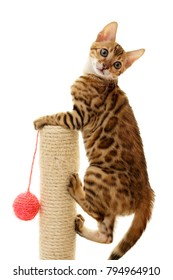 Bengal cat kitten climbing a scratch post isolated on white background