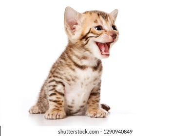 Bengal Cat kitten meows (isolated on white)