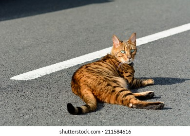 Bengal cat laying in the middle of the road