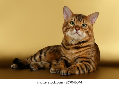 Bengal Cat lies on Gold background and Looking in camera