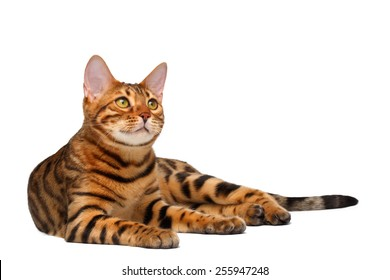 bengal cat lies on white background and looking up