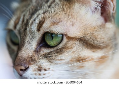 Bengal cat in light brown and cream looking with pleading
