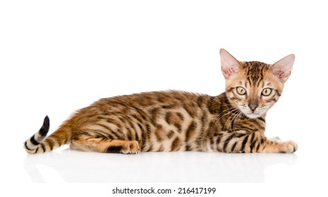 Bengal cat looking at camera. isolated on white background