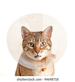Bengal cat looking sad in neck collar to stop it licking a wound