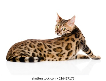 Bengal cat looks back. isolated on white background