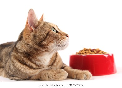 A bengal cat looks up into the copy space above a bowl of dry cat food.