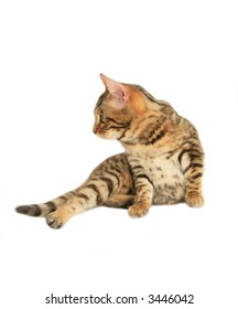 Bengal cat lying down looking to the side isolated on white
