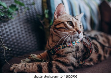 Bengal On Couch Images, Stock Photos & Vectors | Shutterstock