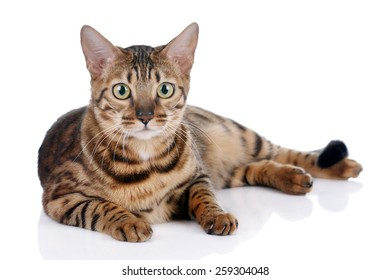 Bengal cat lying on white background