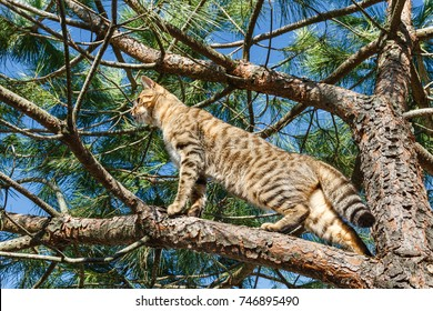 Bengal cat on the branches of a pine tree. Bengali.