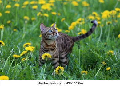 bengal cat on green meadow