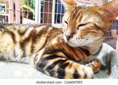 Bengal cat on a lounger