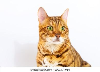 Bengal cat on a white background, fluffy orange, black striped, pet, big beautiful cat, close-up shot.