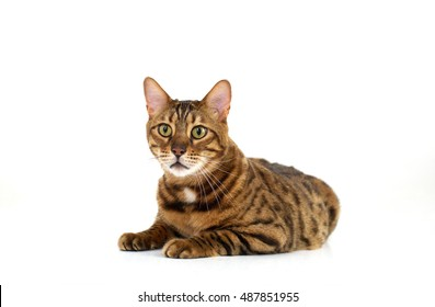 bengal cat on a white background close up isolate