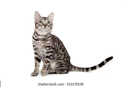 Cat White Background Images, Stock Photos \u0026 Vectors
