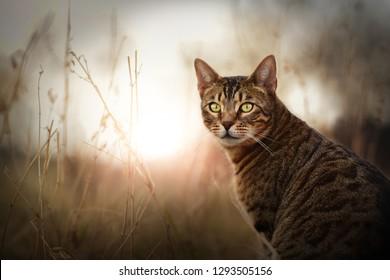 Bengal cat outdoor. Beautiful cat portrait in nature.
