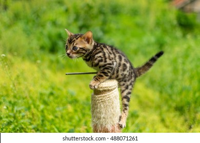 A Bengal cat outside in the garden