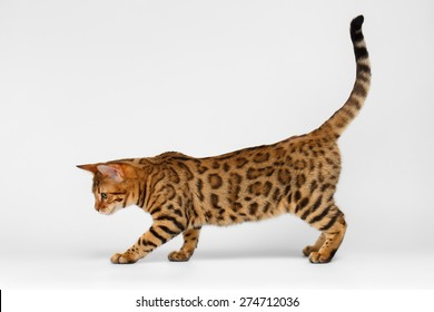 Bengal Cat playful walking on White background