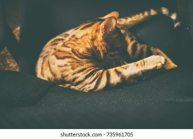 Bengal cat playing on the armchair
