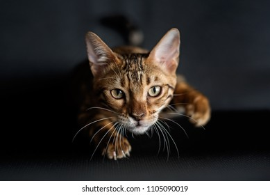 Bengal cat is preparing to jump on the hunt. A portrait of the animal
