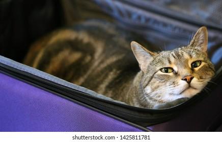 Bengal cat in purple suitcase.